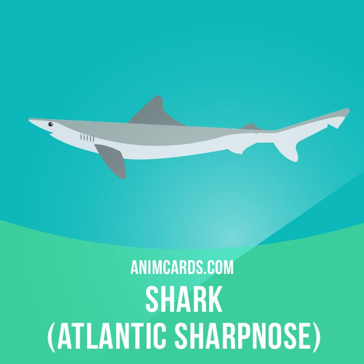 Atlantic sharpnose sharks can be found as far north as New Brunswick, Canada, to as far south as the southern Gulf of Mexico. This species is considered non-harmful to humans and typically feeds on small bony fishes, shrimps, crabs, segmented worms, mollusks, and gastropods. Learning English can be fun! Visit our website: learzing.com #english #englishlanguage #learnenglish #studyenglish #language #vocabulary #dictionary #englishlearning #funenglish #vocab #animals #sharks #shark #atlant