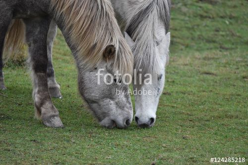 """Download the royalty-free photo """"Two icelandic white horses grazing on a pastor, Ostergotland, Sweden"""" created by Ciaobucarest at the lowest price on Fotolia.com. Browse our cheap image bank online to find the perfect stock photo for your marketing projects!"""