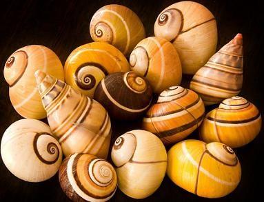 Polinitas, los caracoles de Baracoa, Cuba
