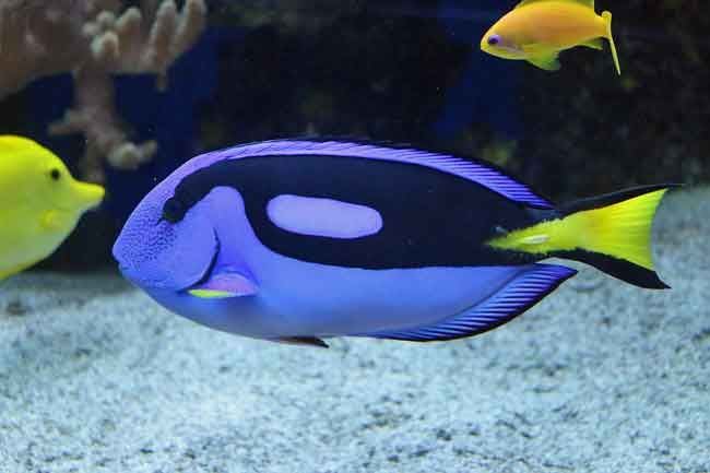 13 Finding Nemo Fish Species In Real Life With Pictures Blue Tang Fish Finding Nemo Fish Underwater Pictures