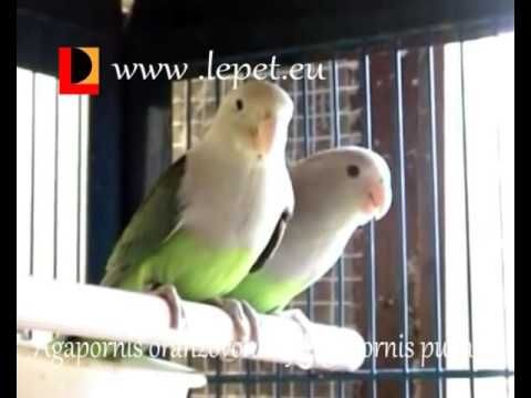 Agapornis oranžovohlavý-Agapornis pullaria-Red-headed lovebird - YouTube