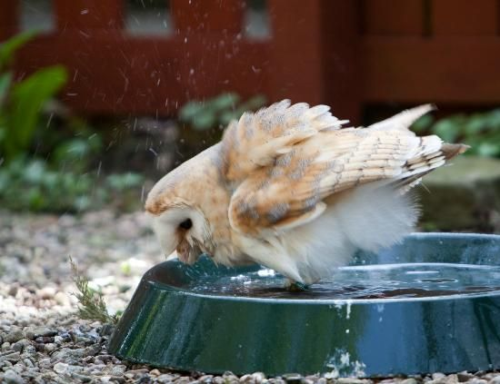 Turbary Woods Owl and Bird of Prey Sanctuary: Barn owls are supposed to hate getting wet ?????