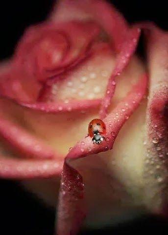 . Mmmm, sweet rose, sweet lady!
