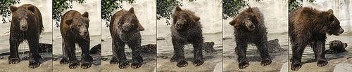 Bear cub shake - from the Detroit Zoo