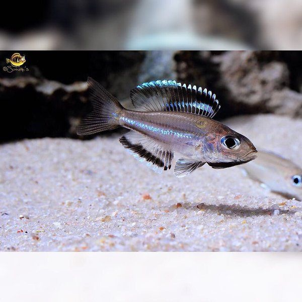 1000 images about lake tanganyikan cichlids on pinterest for Lake tanganyika fish