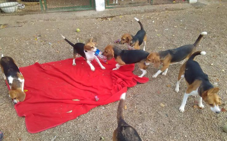 P The Beagle Freedom Project Has Just Rescued 7 Beautiful Pups