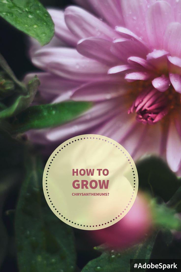 How to grow chrysanthemums? #crisantemi #crisantemo #howto #comefare #tips #chrysanthemums #flower #flowerpower #iloveflower