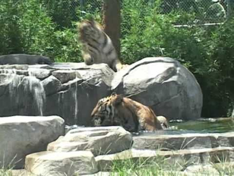 Big Cat Habitat & Gulf Coast Sanctuary- meet exotic and endangered big cats such as Siberian tigers and African lions!