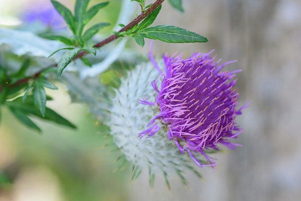 Art prints for sale... bring the soothing colors of nature home with a print of this lovely thistle flower!