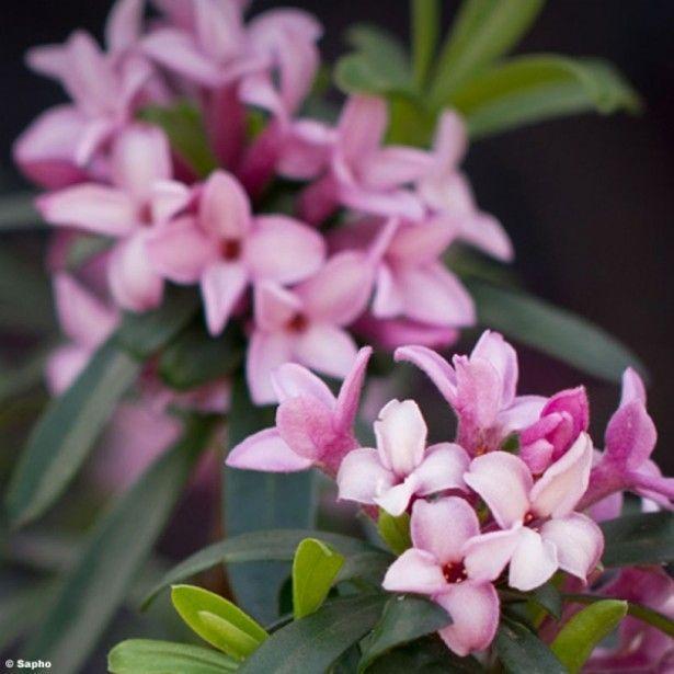 X T A N S Transatlantica Pink Fragrance®P L Daphne n8OPk0Xw