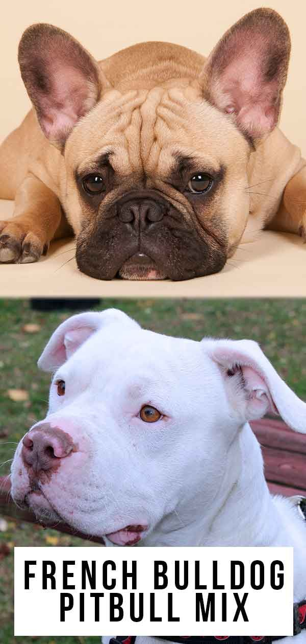 French Bulldog Pitbull Mix A Mixed Breed With Two Very Different