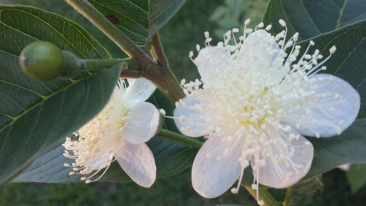 Flor da goiaba