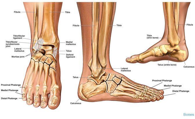 Ankle Bones Anatomy