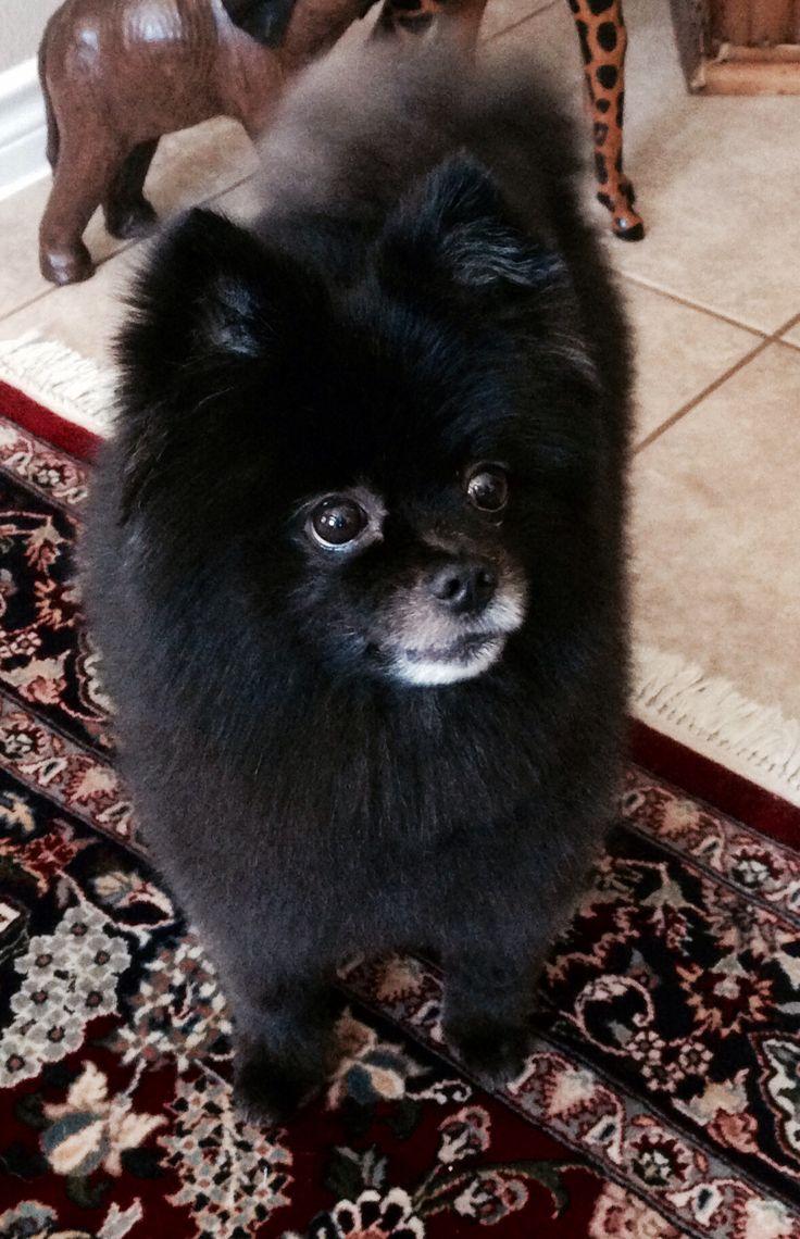 Black Pomeranian....Roscoe