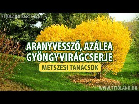 Aranyvessző, gyöngyvirágcserje és azálea metszése - kertészeti tanácsok - YouTube