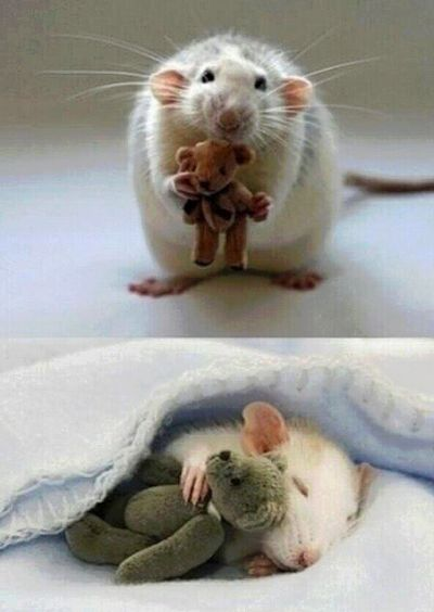 For anyone feeling a bit sad, here's a picture from a woman who makes Teddy Bears for her pet rat! .`