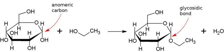 Glycosidic bond - Condensation reaction