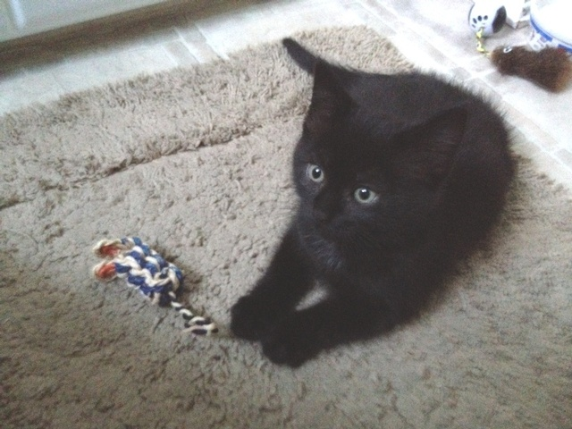 This handsome guy is 3 mth old Conroy.  He loves to follow his foster around the house and adores being picked up and cuddled.  Conroy gets along well with dogs.  To give this great kitty a forever home go to: www.orphankittenrescue.com