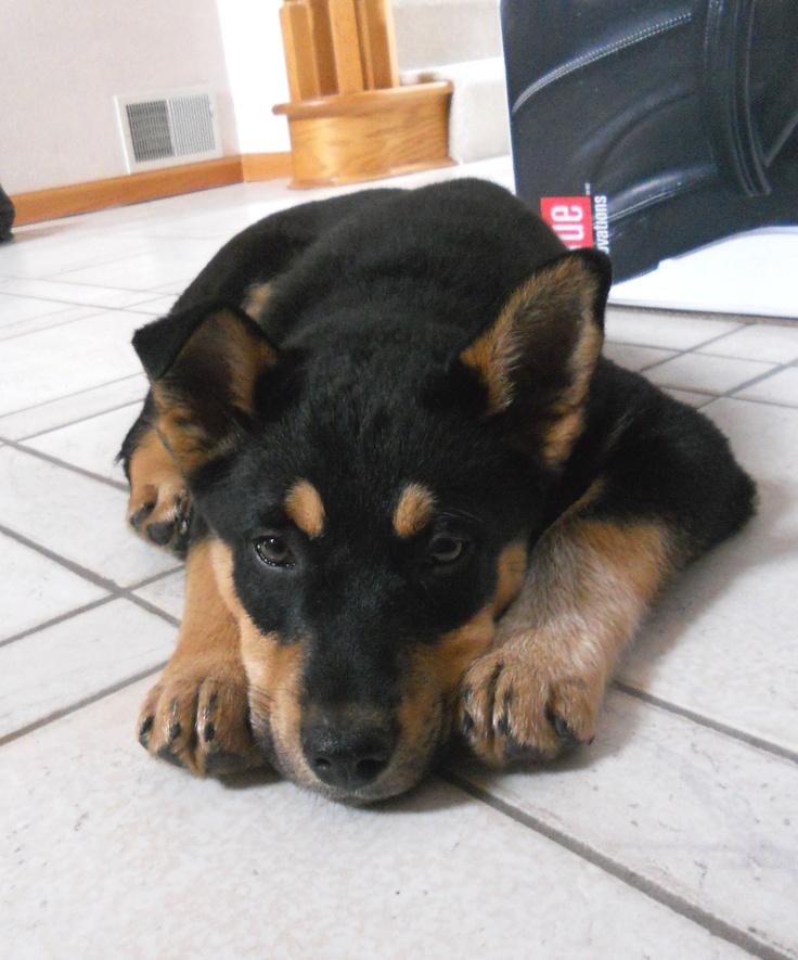 Hanna | Adopted Dog | A19002958 | Cheyenne, WY | Siberian ...  |Blue Heeler Shepherd Husky Mix