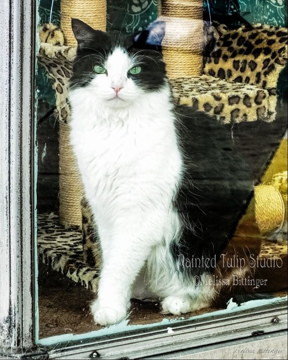 Black and White Kitty Cat Store Window  by PaintedTulipStudio