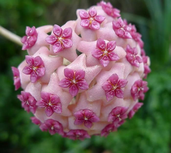 ✿⊱♥ Hoya carnosa, popularmente conhecida como flor de cera é uma trepadeira originária da Ásia e da Austrália. Floresce na primavera, com cachos de flores pequenas e carnosas, em forma de estrela, que se assemelham a flores de cera.