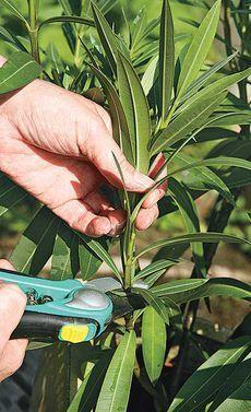 Oleander durch Stecklinge vermehren