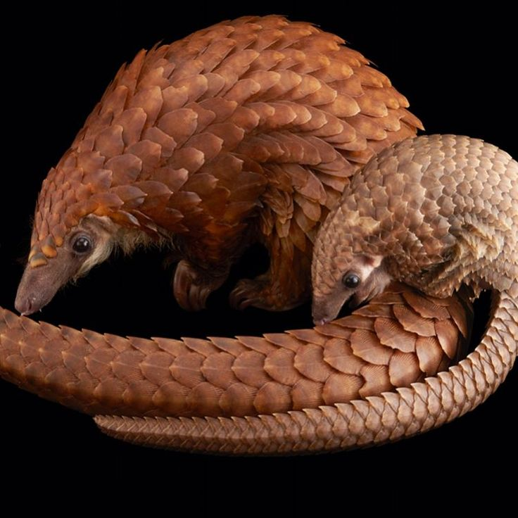 Images by @joelsartore | A juvenile and mother white bellied tree pangolin at the Pangolin Conservation in St. Augustine, FL (swipe to see more images). This juvenile is only 70 days old and is the first of her species to be bred in captivity. Frustratingly, certain cultures, including that of traditional Chinese medicine, falsely believe the pangolin's unique protective keratin scales (made of the same material as your fingernails) have curative properties. Because of this, it's estimated…