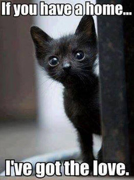 Scottish Fold Kitten – 19th October 2015