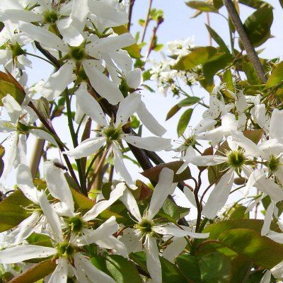 Amelanchier Asiatica Ballerina Snowy Mespilus Small Tree Or Large Shrub With Mid Green