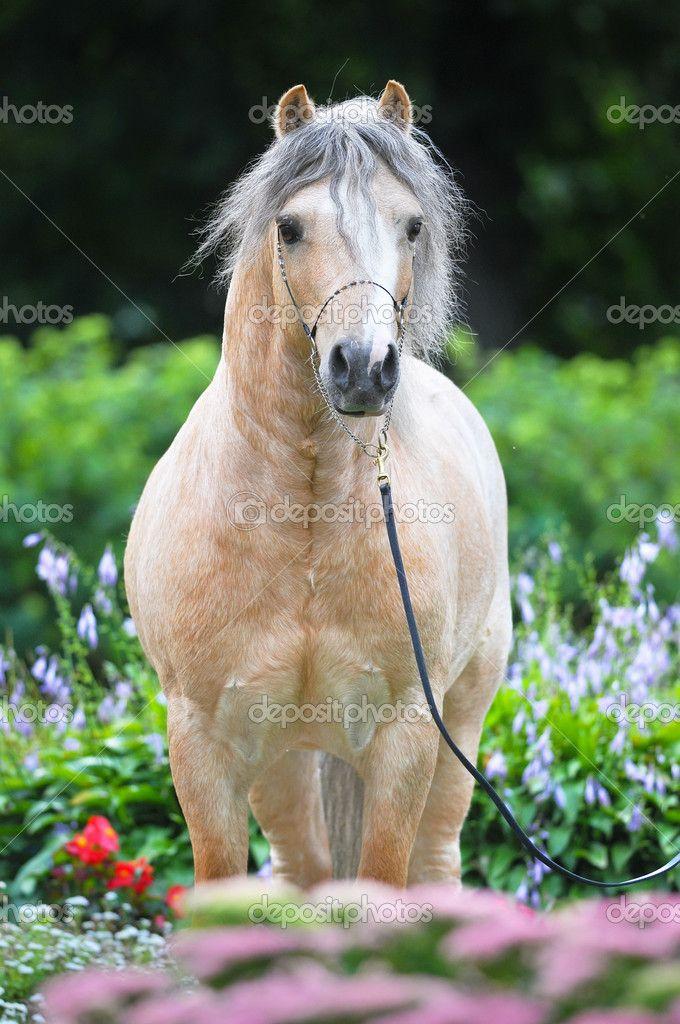 Паломино валлийский пони портрет в цветы - Стоковое изображение: 6848432