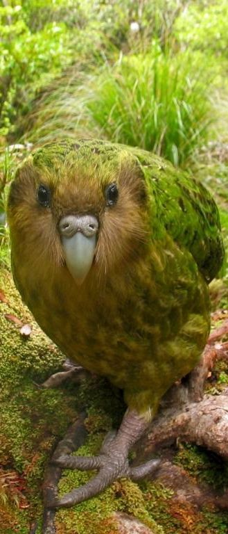 Kakapo, large, flightless, nocturnal, ground dwelling parrot of New Zealand
