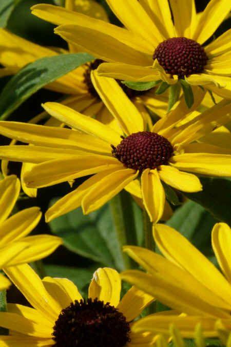 rudbeckia sullivantii vivace placer au soleil ou mi. Black Bedroom Furniture Sets. Home Design Ideas