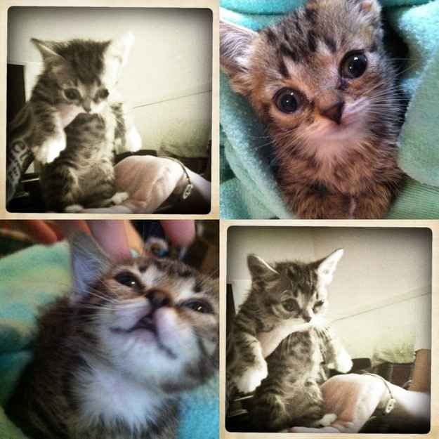 Best Lil Bub Images On Pinterest Adorable Animals Cat Video - Kitten born with dwarfism is half the cat but twice as cute