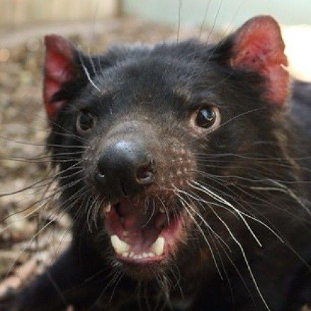 Chomper, one of the Tasmanian devils at Bonorong Wildlife Park near Hobart. : Jason Graham