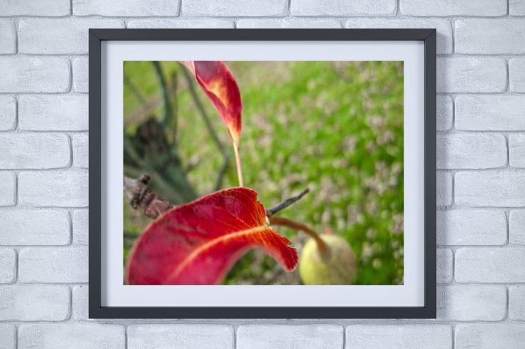 Pear Tree With Red Leaves Print - Nature Photography- Fruit Photography- Fruit Art- Kitchen Art- Pear Photography
