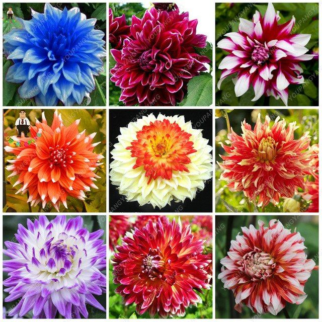 100pcs Rare Dahlia Plants Beautiful Rainbow Dahlia Garden Flowers High Survival Rate Bonsai Tree Garden Decor Flower Seedlings Lily Flower Seeds Dahlias Garden