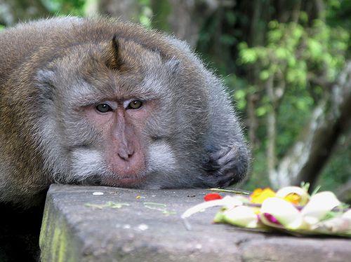 Macaca fascicularis à Forêt des Singes, Ubud