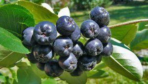 Aronija – najzdravija biljka na svijetu