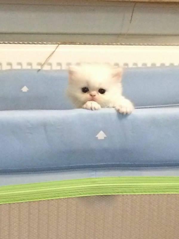 Sahibinden satılık iran kedisi yavrusu