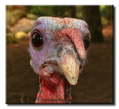 funny turkey pics for facebook status | ... stalked by a turkey - Mommy Has A Potty MouthMommy Has A Potty Mouth