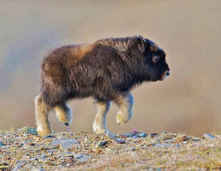 Beautiful baby bison