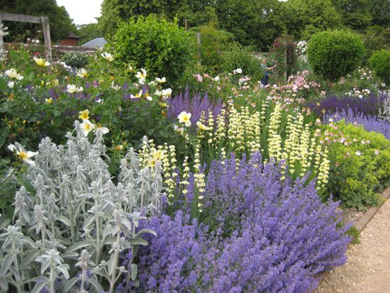 nepeta, stachys byzantia and salvia with the pale yellow sisyrinchium striatum and lime-yellow achemilla mollis.