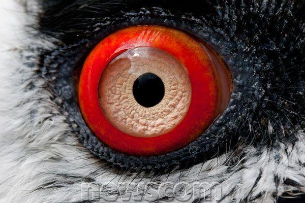 bearded vulture eye - Google Search   Bird is the word ...