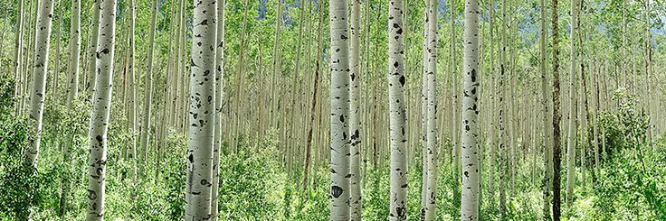 Secure your limited edition, Aspen Colorado print, ' Aspens', by selecting your desired print size in the menu to the right. Description from dylanfox.com.au. I searched for this on bing.com/images