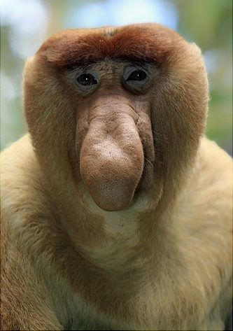 Proboscis Monkey. The monkeys honk to communicate with each other, the nose straightens out during each honk.