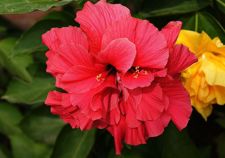 Hibiscus rosa double red in Colombia
