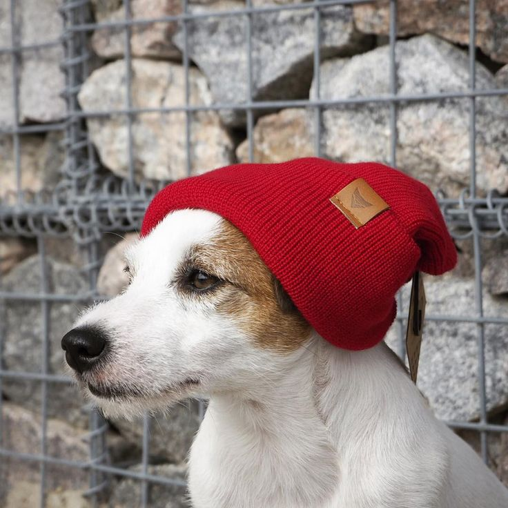 Cutest little Jack Russell terrier wearing a red slouch beanie by VAI-KØ.