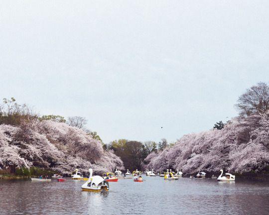 453:「桜、私もアヒルボートに乗りたくなる。」@井の頭恩賜公園