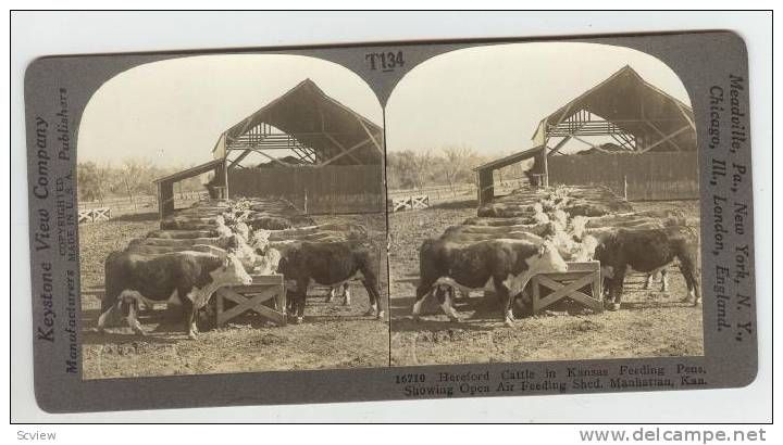 SV Hereford Cattle,Manhatten,Kansas, 1900s - Delcampe.com