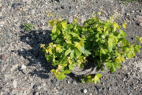 The source of your #Santorini deliciousness...Got in the mood for a local splendid wine?  (See more http://www.gastronomysantorini.com and http://www.winetourssantorini.com)